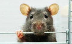 Cùng tìm hiểu về cách đuổi chuột trên trần nhà nhé